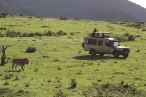Lion Prowling