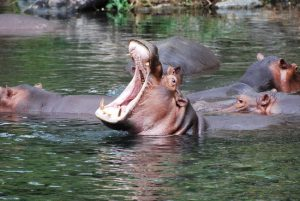 Hippos at Mzima springs