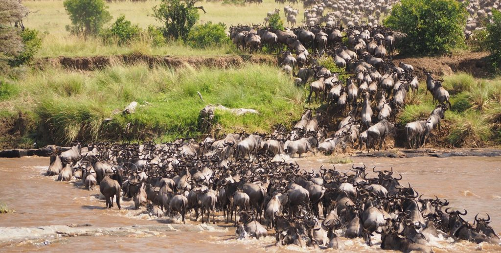 Wildebeest Migration safari tours in Masai Mara National Reeserve & Serengeti national Park with Natural World Kenya Safaris