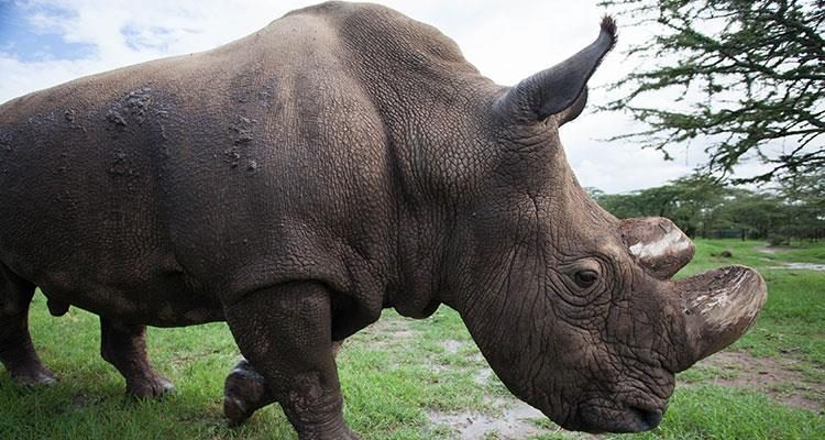 Northern White Rhino at Ol Pejeta Conservancy-Natural World Kenya Safaris