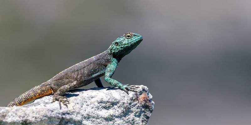 blue headed agama lizard