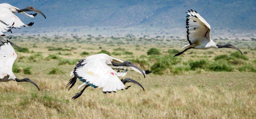 Sacred Ibis flying over the Masai Mara