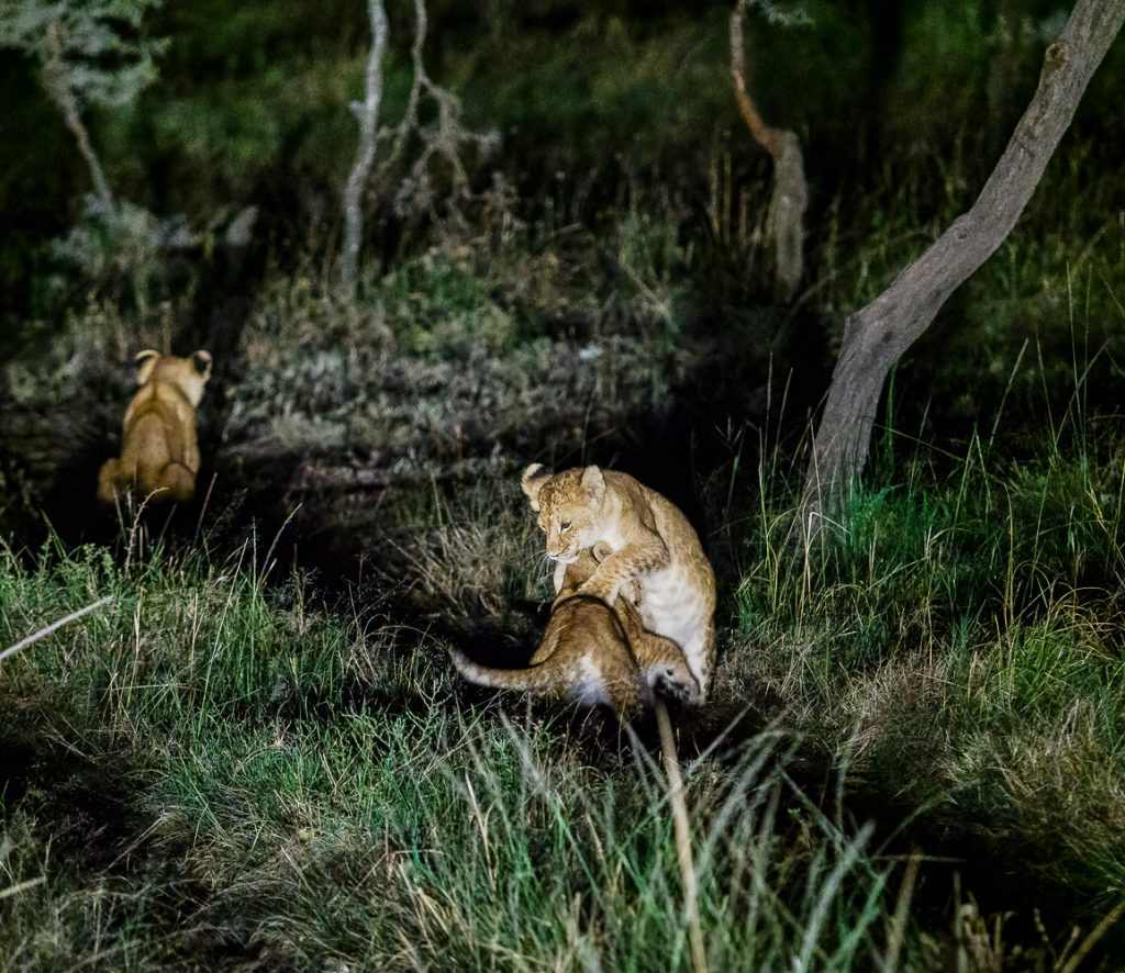Lion cubs playing at night