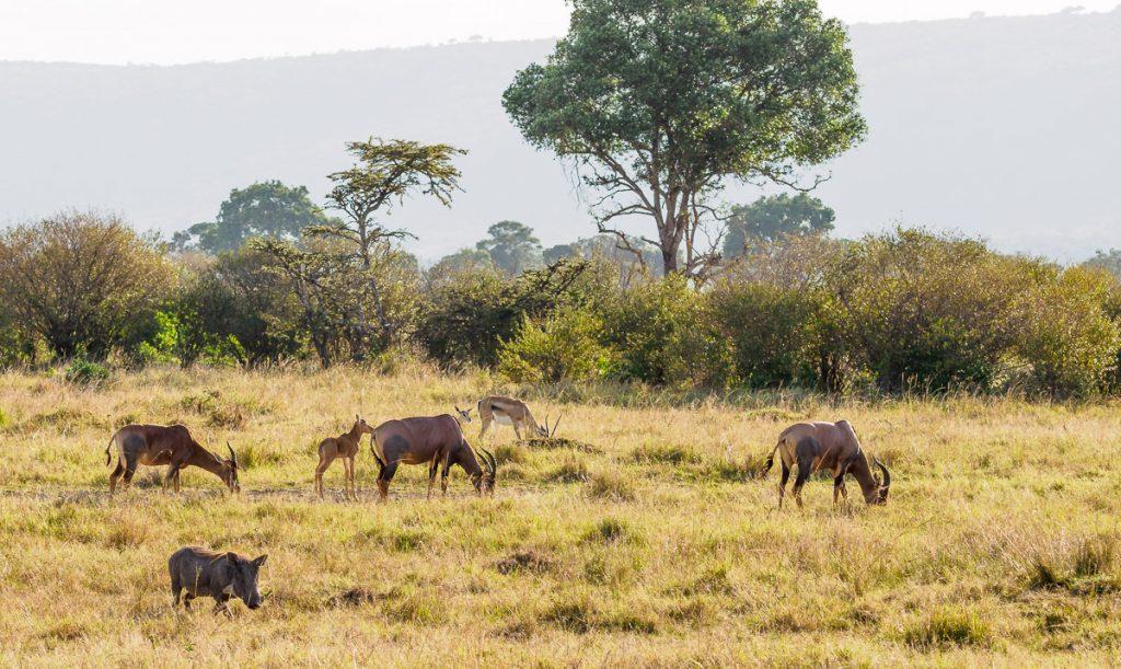 Gazelles, Topis and a Warthog in the Masai Mara